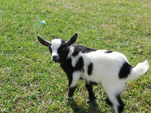 Need a home for our goat Mumbles