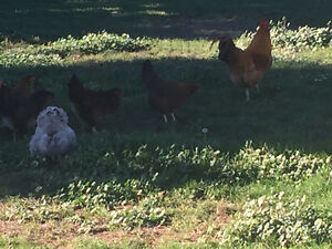 FOR SALE: flock of 12 laying hens and 1 rooster