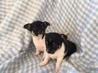 3/4 chihuahua puppies
