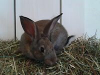 Gorgeous Female Rabbits For a Low Price!