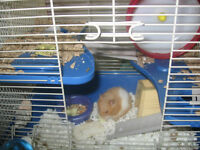 Hamster with cage for $30 or just hamster for free