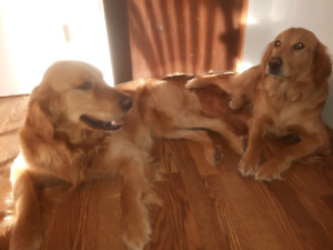 Golden Retriever | Adopt Dogs & Puppies Locally in British Columbia