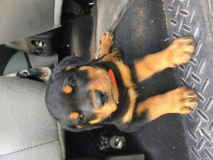 Puppy Rottweiler Kijiji In Saskatchewan Buy Sell Save With