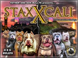 STAX x CALI.🔥 Xl American bullys.🔥 old school.🔥