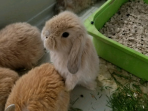 Purebred Holland lop babies