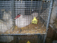 Trails End Small Animal Auction.  Pheasants and Bearded Dragons