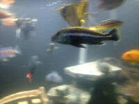 Cichlids and flying fox