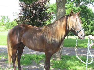 Rocky Mountain Horse For Stud Service, and  Horses For Sale!!!! Kingston Kingston Area image 5