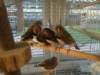 Exhibition Zebra Finches - 2015 Bred - Stunning Grey Pattern