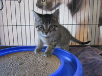 Ruth - rescued brown tabby female kitten for adoption
