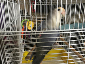 Beautiful breeder female lovebird rare colors