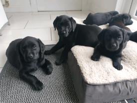 KC Quality Labrador Pups