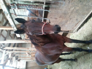 3 buggy horses for sale