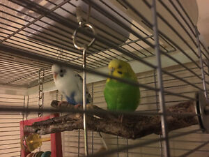 Bonded Pair of Budgies for a Good Home!
