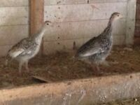 Royal Pom / Bronze Mix Turkey Poults.