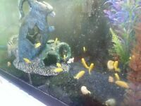 Yellow lab cichlids