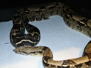 Male anery boa for sale or trade