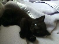 Charcoal Bengal Cross Kittens
