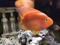 4 Parrot fish