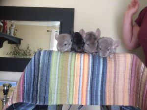 Baby chinchillas ready to go!