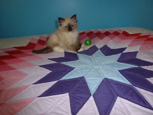 Beautiful Quality TICA Registered Ragdoll Kittens.