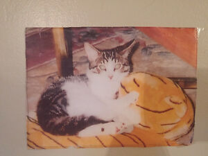 Lost cat his name is ring tail Gatineau Ottawa / Gatineau Area image 1
