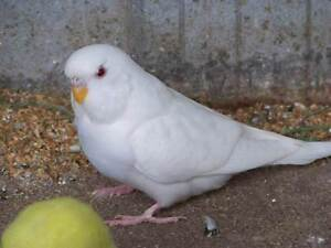 HEALTHY BABY BUDGIES  7WEEKS MALE FEMALE GREAT CHEAP PETS BIRDS Miranda Sutherland Area Preview