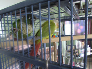 Male and Female conures