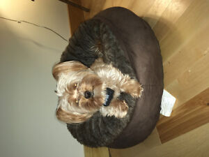 Missing yorkie maltese all gold downtown colborne