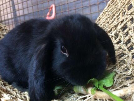 Gorgeous pure breed Vienna baby mini lop ready now