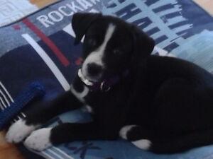 Chiot TOUT INCLUS Femelle 3 mois Labrador x Labernois x Husky
