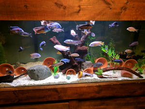 4-7 inch african cichlids and 2 clown loaches