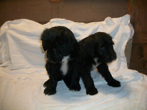 Home Raised Sheep A Doodle Pups