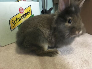 Lionhead free to a good home!