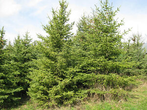 8' to 12' spruce trees for sale