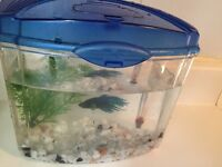 Beta crown fish for sale