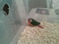 Yellow Sided Conure Babies