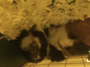 two young female guinea pigs $20.00 For both 0.B.0