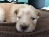 Chow-Lab mix puppies