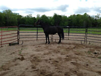 Registered Sport Horse Mare looking for a Good Home