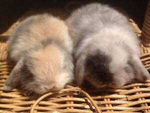 SWEET FRIENDLY BABY PURE BREED MINI LOP RABBITS FOR SALE Harris Park Parramatta Area Preview