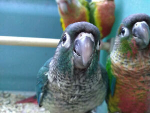 Lots of Baby Conures @ EXOTIC PETS
