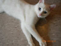 "PURE WHITE KITTEN ""Alexie"" - Fixed & Vaccinated - @ Small Things"