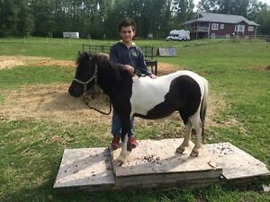 Miniature Paint Gelding