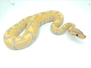Ball pythons disponibles