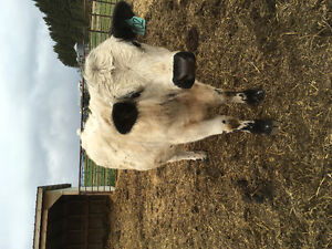 Commercial yearling speckle park bull.