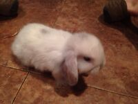 Purebred baby holland lop bunnies for sale
