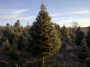 Christmas Trees for Sale at the Canadian Tire on Fairville Blvd