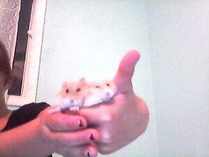 Two russian dwarf hamsters $40 London Ontario image 2