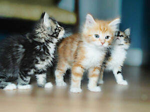 MAINE COON KITTENS - EXTREMELY FRIENDLY